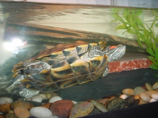 Tsuzuki, our other red eared slider