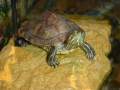 LT, one of our red eared sliders