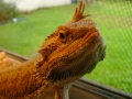 Raz, our bearded dragon